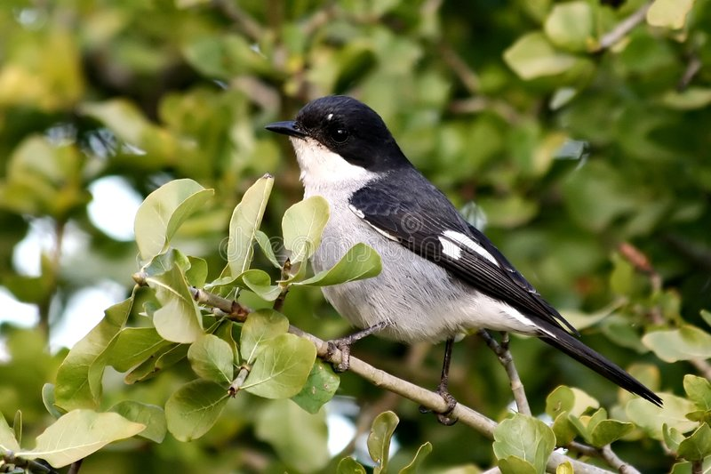 Fiscal Flycatcher. A Fiscal Flycatcher on a branch in a shrub stock images