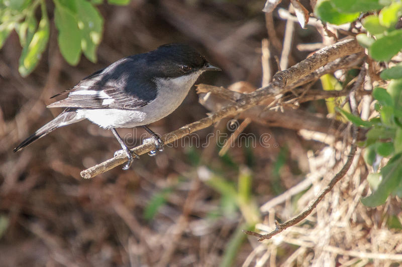 Fiscal Flycatcher. A Fiscal Flycatcher on a branch in a shrub royalty free stock images