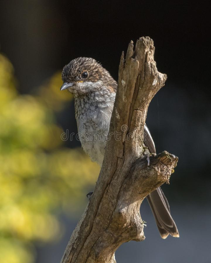 Fiscal Flycatcher at Breede River South Africa. Fiscal Flycatcher Melaenornis silens, juvenile, sitting on a branch at Breede River in Western Cape, South Africa stock image