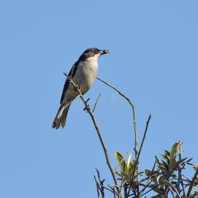 Fiscal Flycatcher. A Fiscal Flycatcher perched in a tree with a bug that it has caught stock image