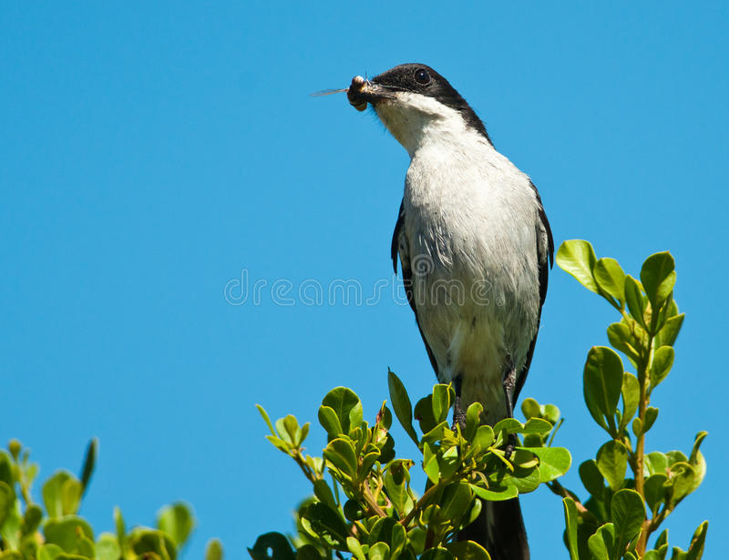 Fiscal Flycatcher With Moth Stock Photography
