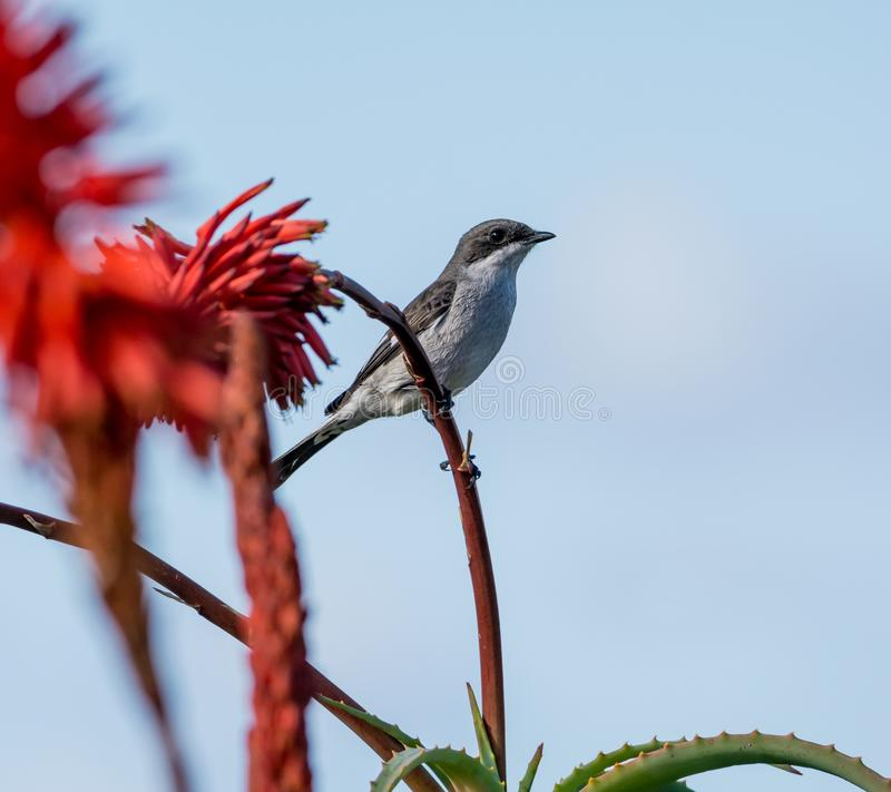 Fiscal Flycatcher. A Fiscal Flycatcher perched on a red Aloe plant in Southern Africa royalty free stock photo