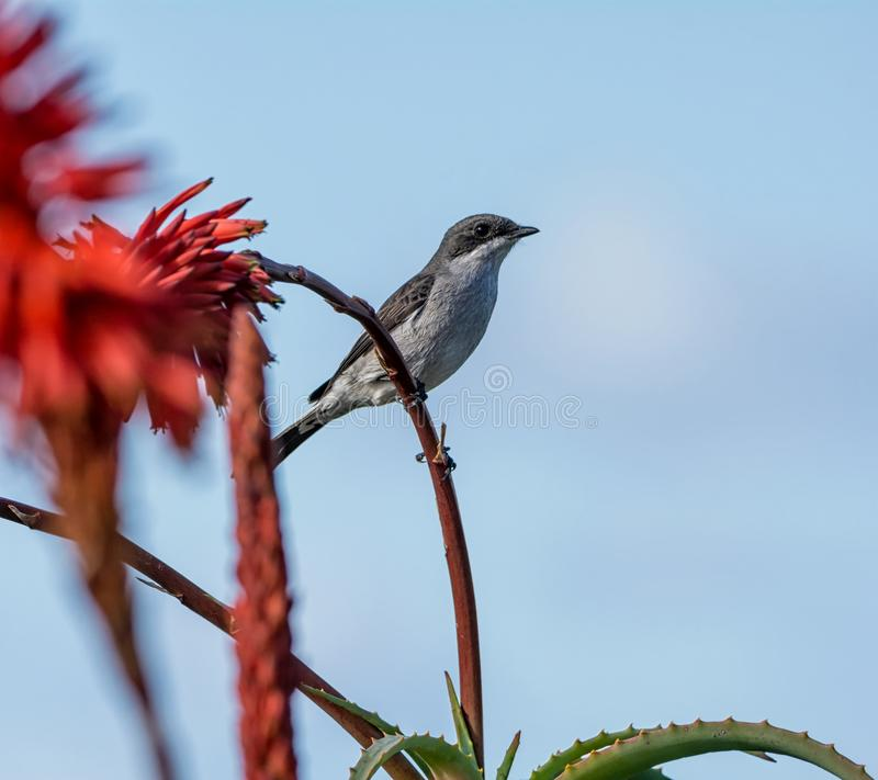 Fiscal Flycatcher. A Fiscal Flycatcher perched on a red Aloe plant in Southern Africa royalty free stock image
