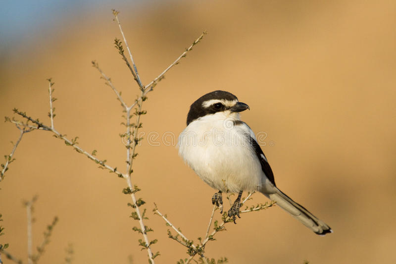 Download Fiscal shrike stock image. Image of fiscal, chest, daytime - 26536767