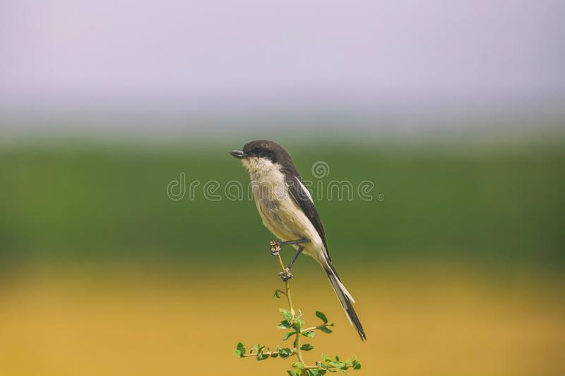 Fiscal shrike bird perched on a branch in national park royalty free stock photo