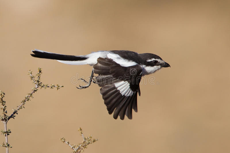 Fiscal Shrike, Common Fiscal in flight. Fiscal Shrike, Common Fiscal (western race) in flight against a blurred natural background royalty free stock image