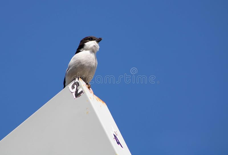 Fiscal Shrike singing. Singing Fiscal Shrike taken in South Africa western cape stock photos