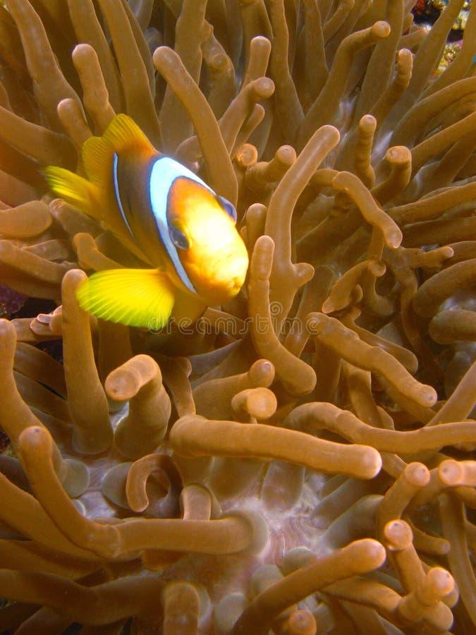 Fisch-Clown lizenzfreie stockfotografie