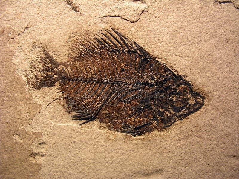 Fisch-Fossil lizenzfreie stockfotografie