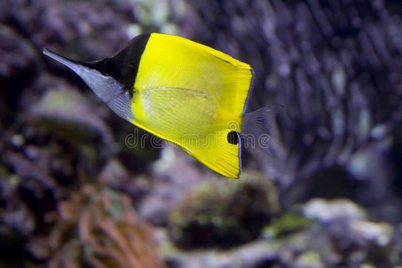 Fisch-Schmetterlingspinzette stockfotografie