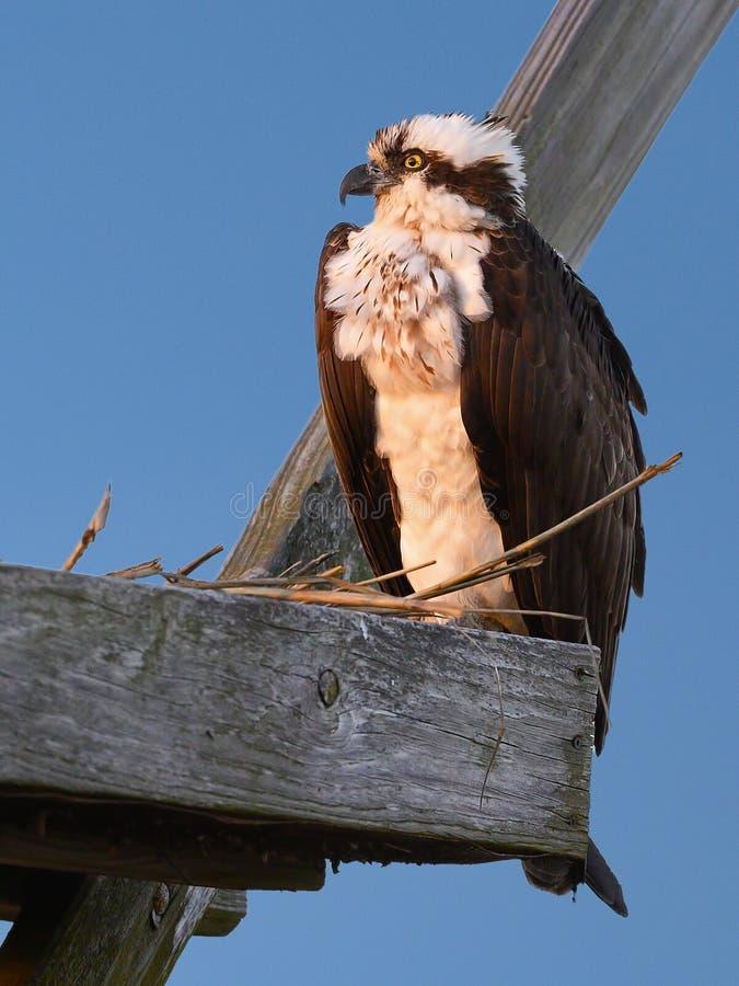 Fischadler, der in einem Nest sitzt lizenzfreies stockbild