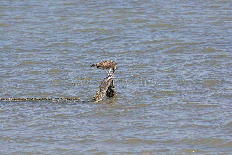 Fischadler, der einen Fisch isst stockbild