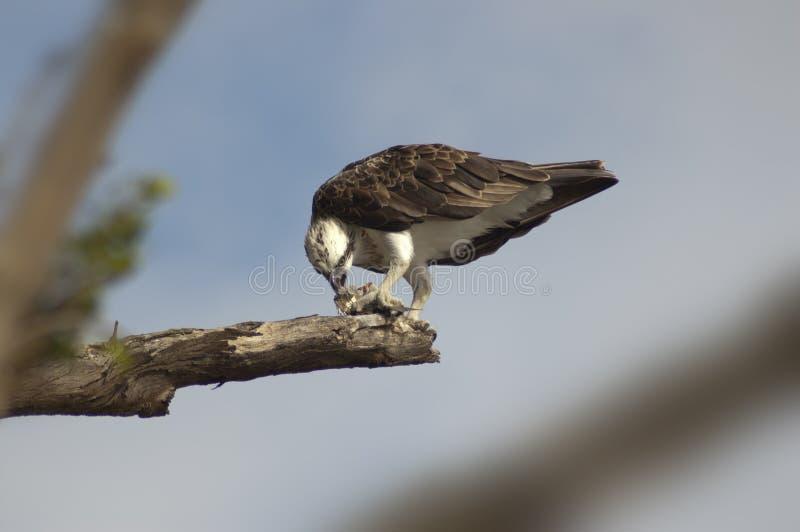 Fischadler, der Fische auf Niederlassung 2 isst lizenzfreie stockfotografie
