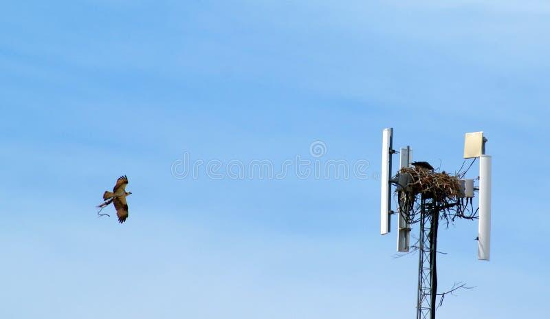 Fischadler-Gebäude-Nest lizenzfreies stockfoto