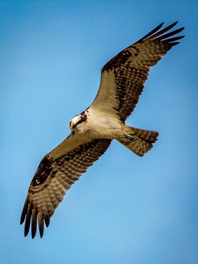 Fischadler im Flug lizenzfreie stockfotografie