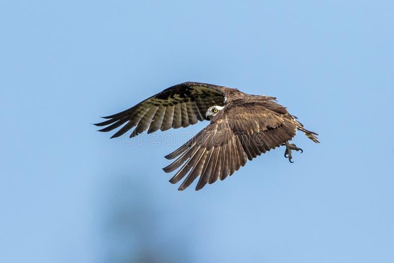 Fischadler im Flug in Flitterwochen-Insel lizenzfreie stockfotos