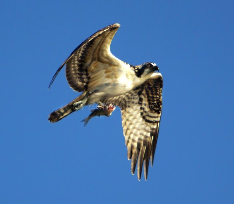 Fischadler im Flug mit Opfer lizenzfreies stockfoto