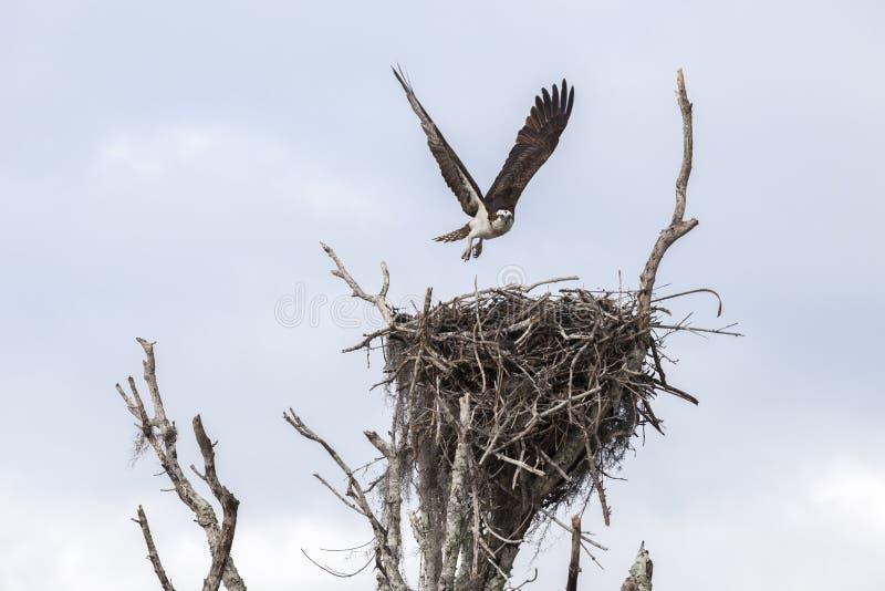 Fischadler-Landung auf Nest nach der Jagd lizenzfreies stockfoto