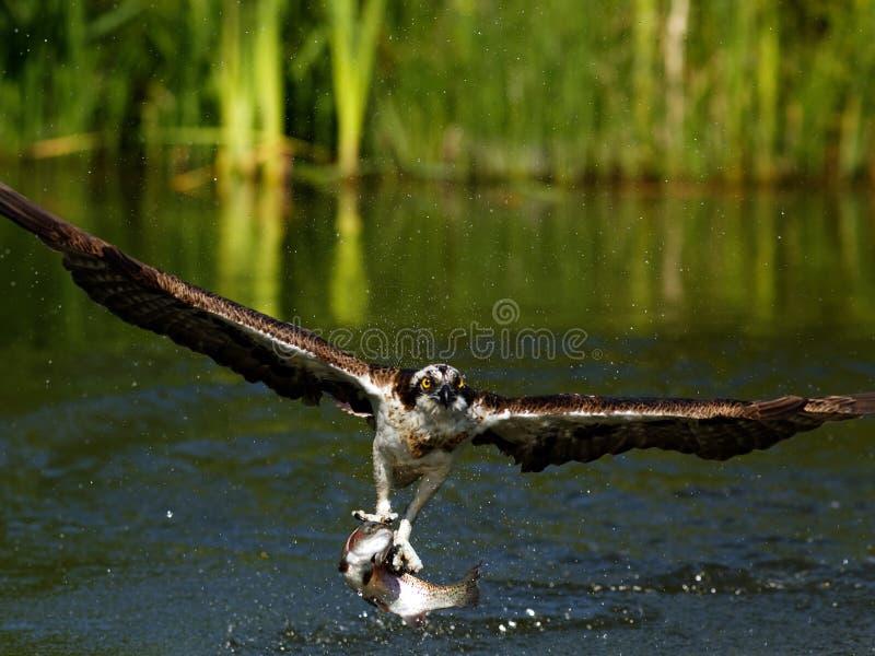 Fischadler (Pandion haliaetus) lizenzfreies stockfoto