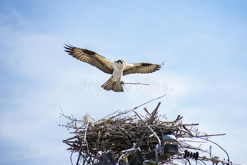 Fischadler-weibliches Nest-Gebäude auf Strommast stockfotos