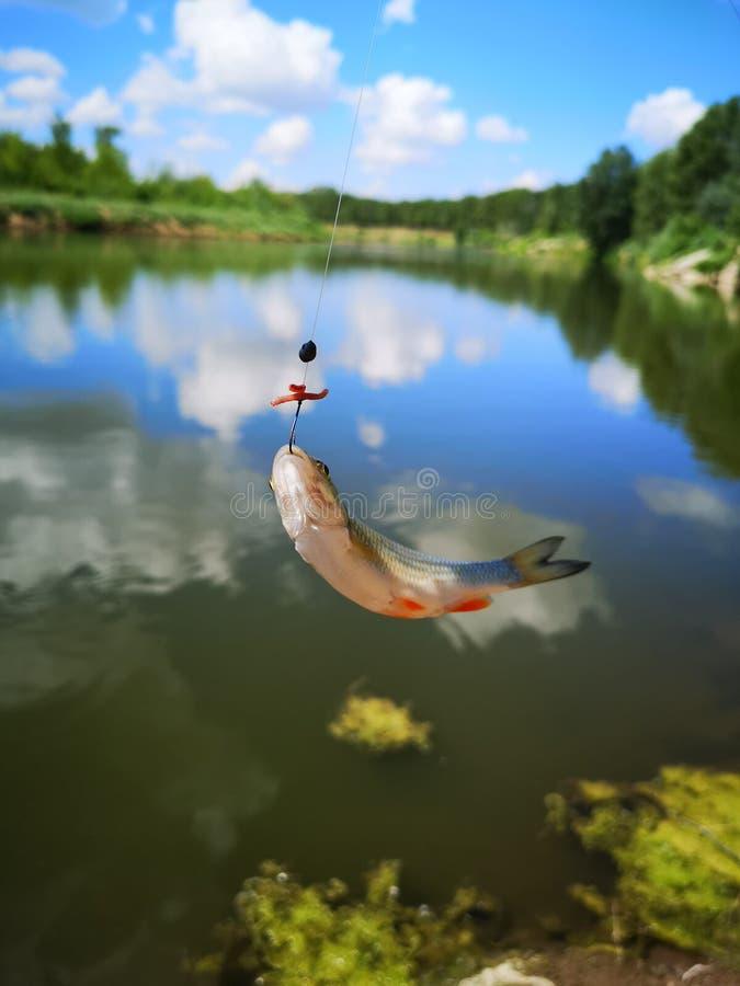 Fische auf dem Haken Fische, fischend stockfotografie