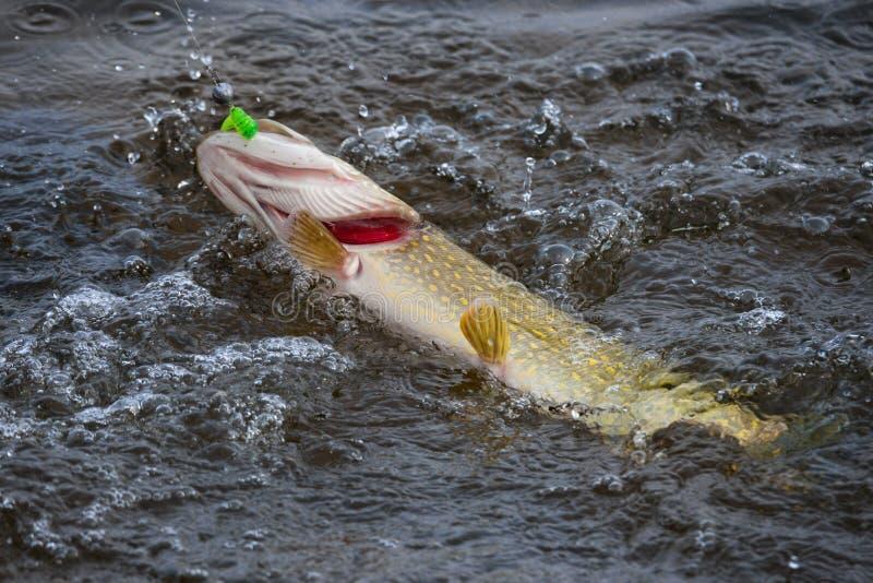 Fische auf dem Haken Spinnendes Pike-Fischen, Spiessfangen Pike mit roten Kiemen auf Haken in kochendem Wasser lizenzfreie stockfotos