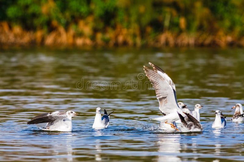 Fische! Der Kampf von Möven Naivasha See lizenzfreies stockbild