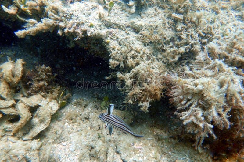 Fische des hohen Hutes, die im klaren blauen Ozean schwimmen stockfoto