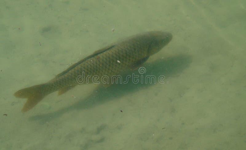 Fische, die im Wasser, See, Tier schwimmen stockfotografie
