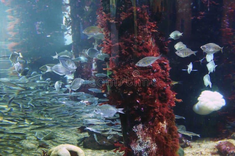 Fische, die um die Pieranhäufung bedeckt mit Meerespflanze schwimmen stockbilder