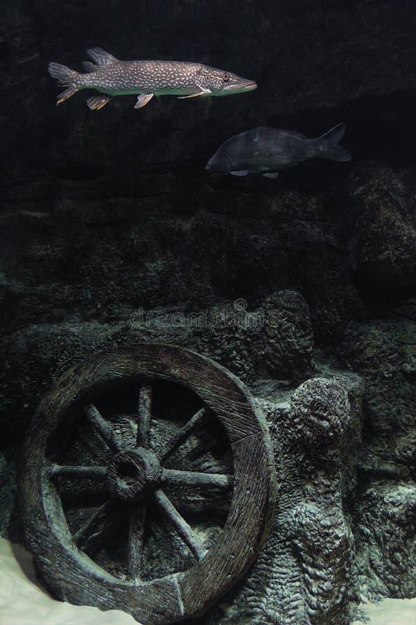 Fische im Aquarium und in dekorativem Wagenrad Unterwasser stockfotografie