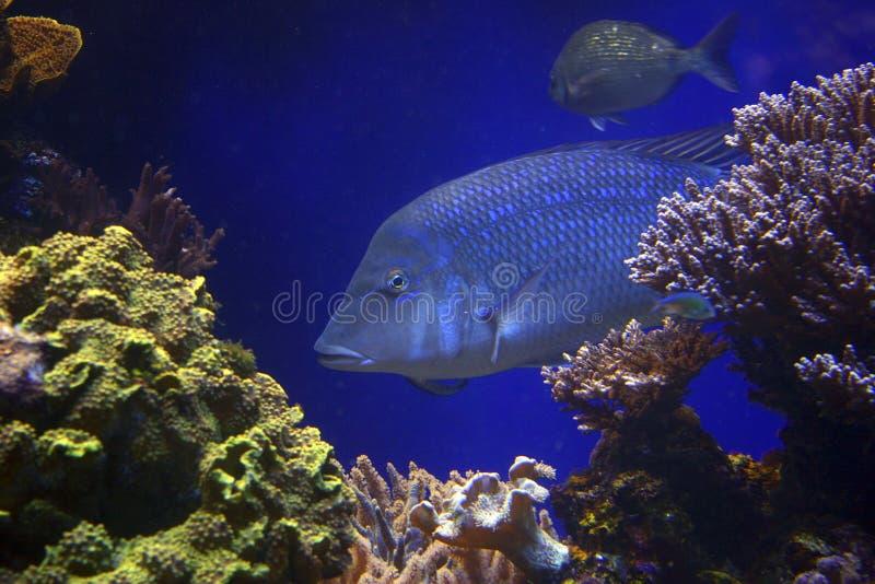 Fische im Blau stockfoto