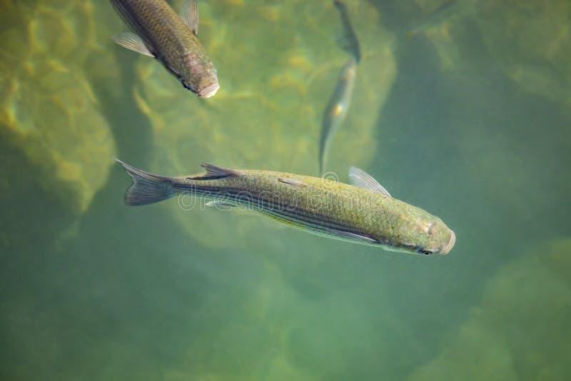 Fische im grünen Wasser des freien Raumes und des Türkises von Atlantik stockbild