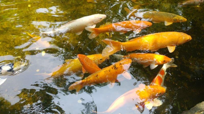 Fische im Teich stockfotos