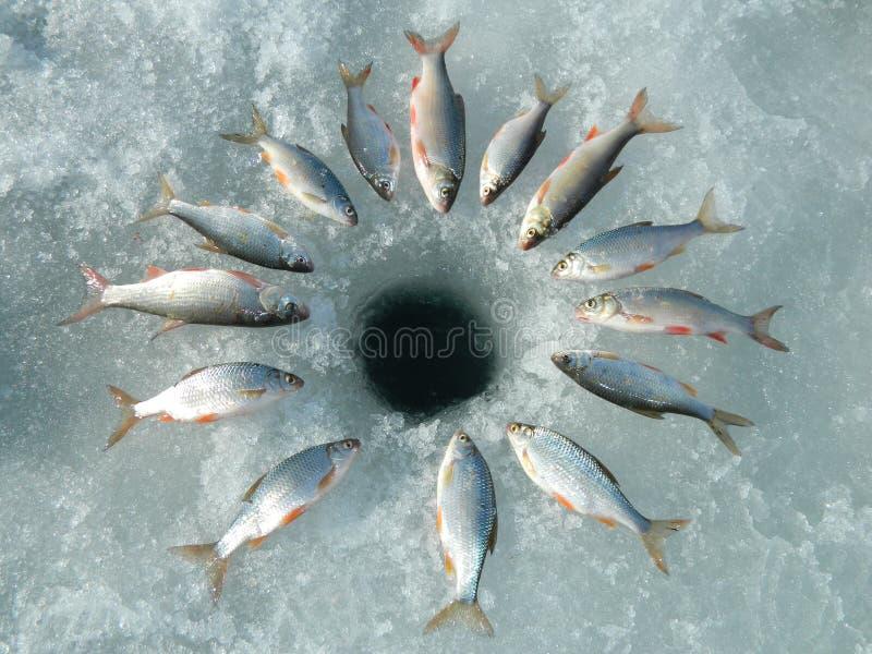 Fische rudd stockfotografie