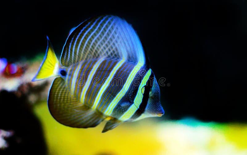 Fische Sailfin Tang - Zebrasoma-velifer stockfotos