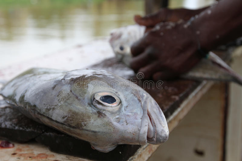 Fische schließlich freigegeben für den Fischrogen lizenzfreie stockfotos