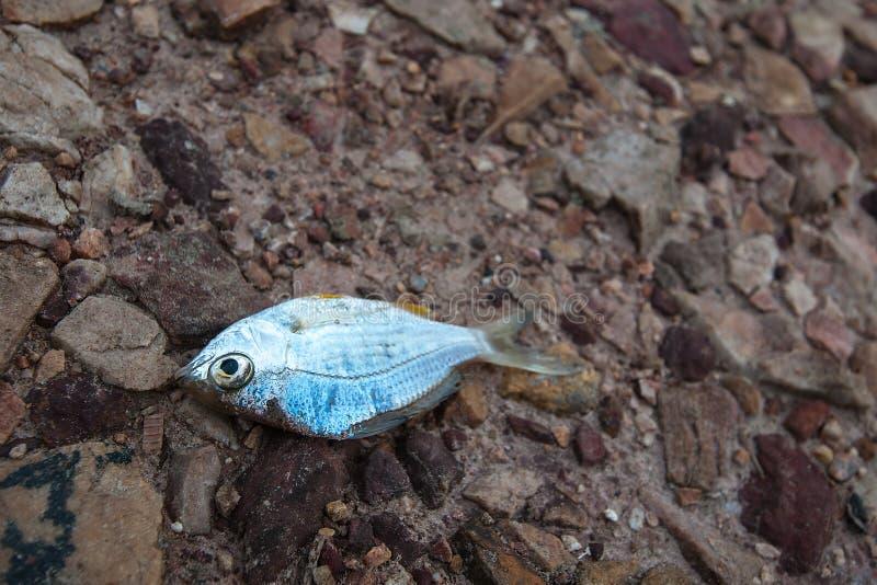 Fische starben auf gebrochener Grunderde/Dürre/dem Fluss des Felsens, der herauf /famine/Knappheit/die globale Erwärmung/natürlic stockbild