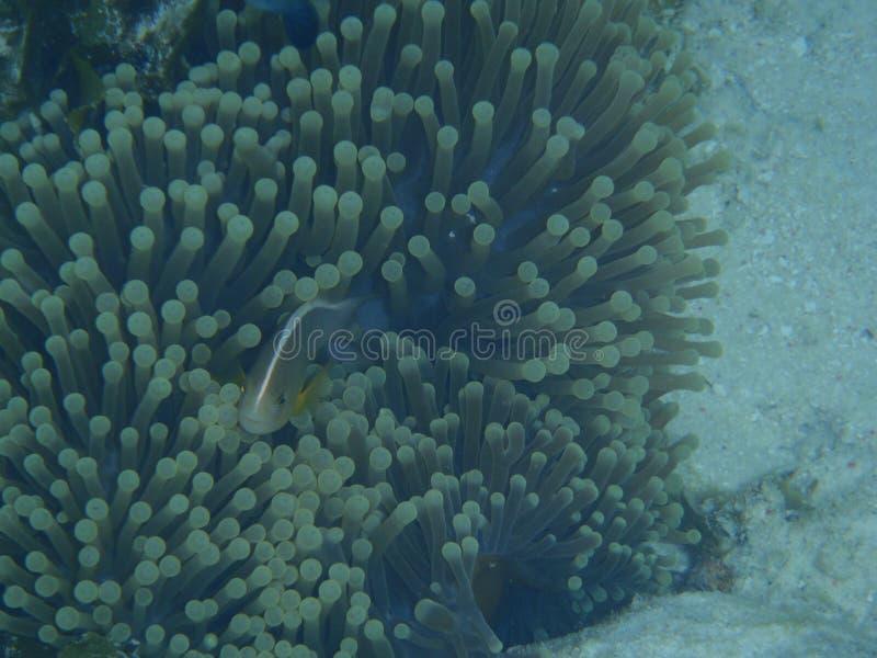 Fische und Seeanemone lizenzfreie stockbilder