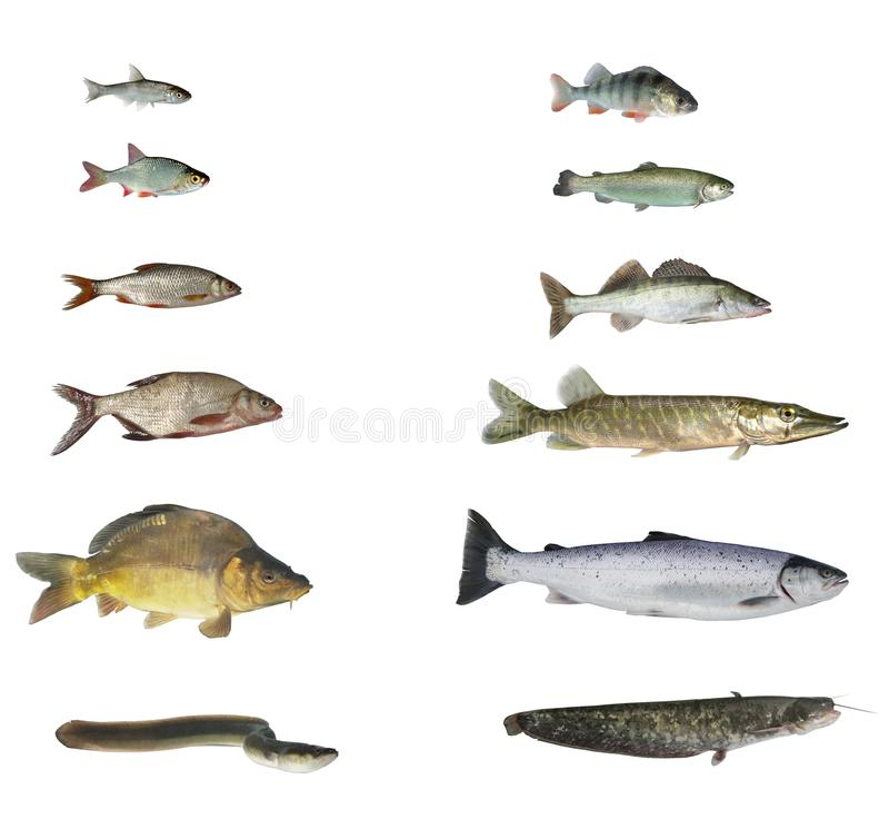 Fische von Flüssen und von Seen stockfotos
