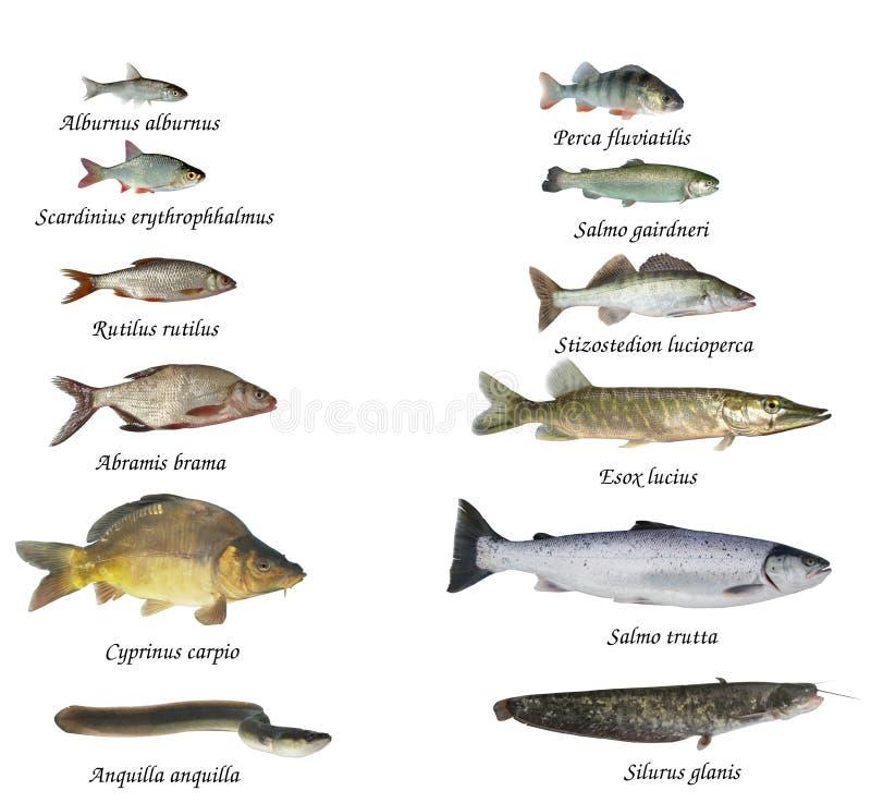Fische von Flüssen und von Seen stockfoto