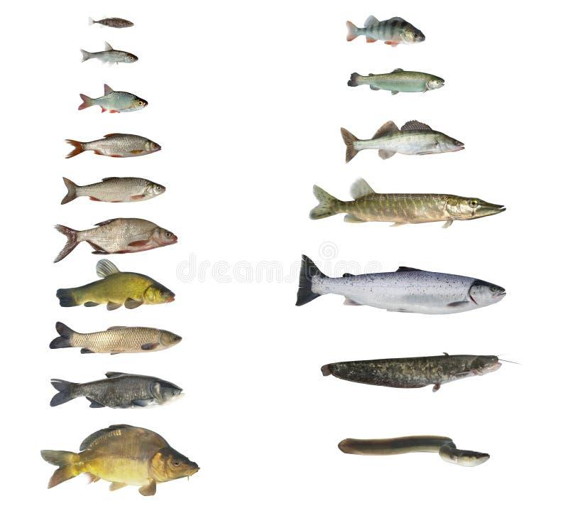Fische von Flüssen und von Seen lizenzfreies stockfoto