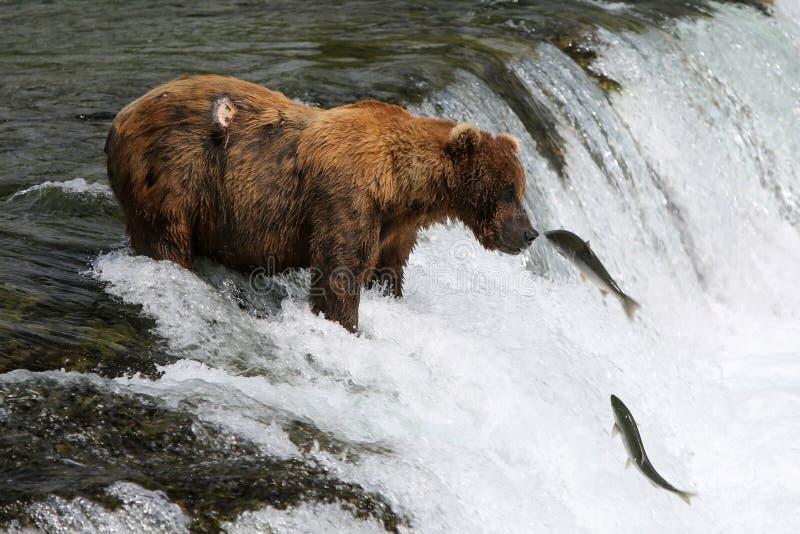 Fischen-Grizzlybär lizenzfreie stockfotos