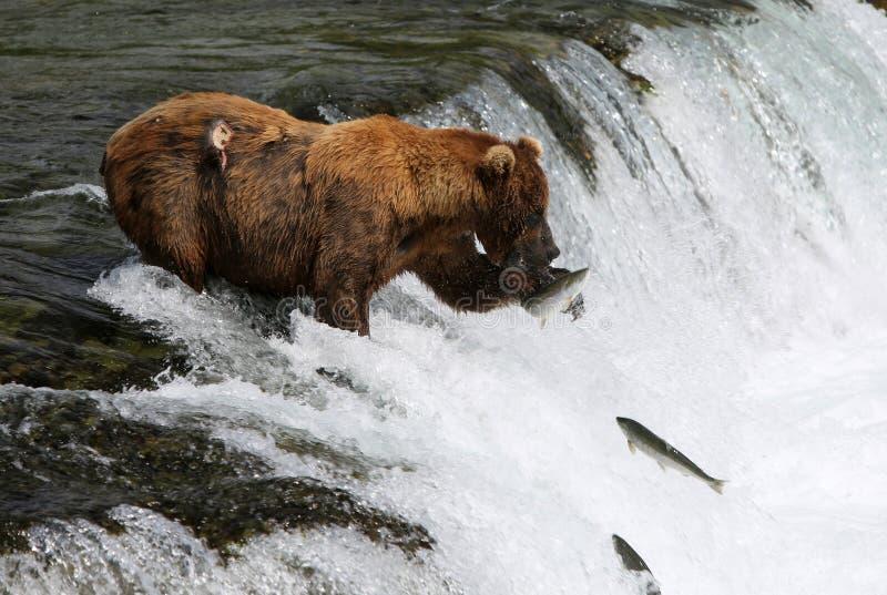 Fischen-Grizzlybär stockfotografie
