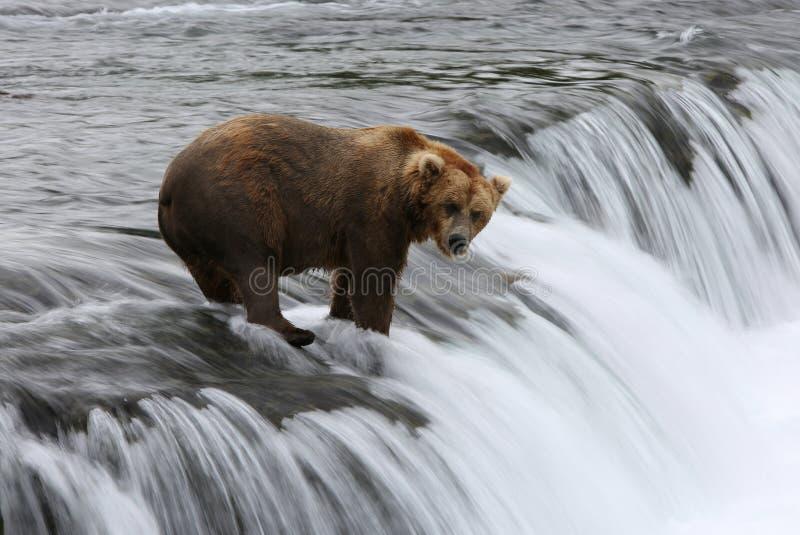 Fischen-Grizzlybär lizenzfreie stockfotografie
