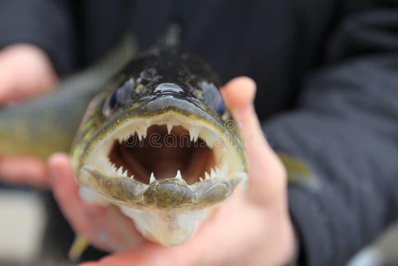 fischen Hornhautflecke in den Händen des Anglers lizenzfreie stockbilder