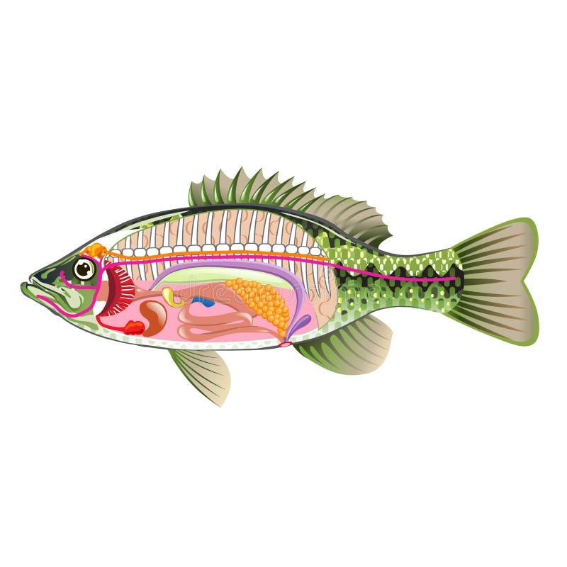 Fischen Sie Vektor-Kunstdiagramm Anatomie der inneren Organe ohne Aufkleber stock abbildung