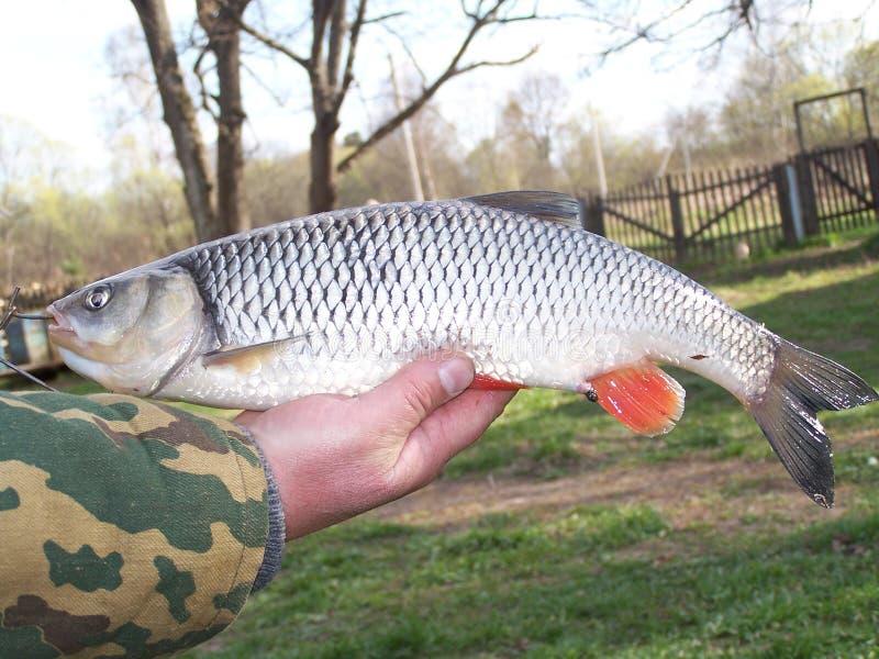 Fischer auf seiner Hand hält einen Fisch Döbel, Nahaufnahme stockfotografie