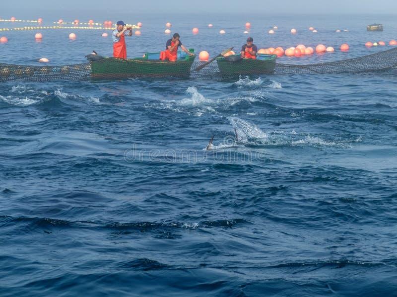Fischer in den grünen Booten im almadraba lizenzfreie stockfotos