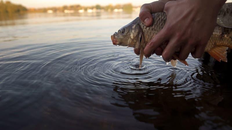 Fischer, der Fische, Karpfenfische zurück zu dem Fluss freigebend hält und fischen Wettbewerb stockfoto